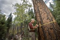 Andrew Richardson measuring the diameter of a large ponderosa pine