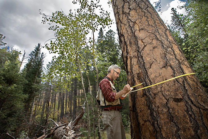 Scientist measuring tree diameter