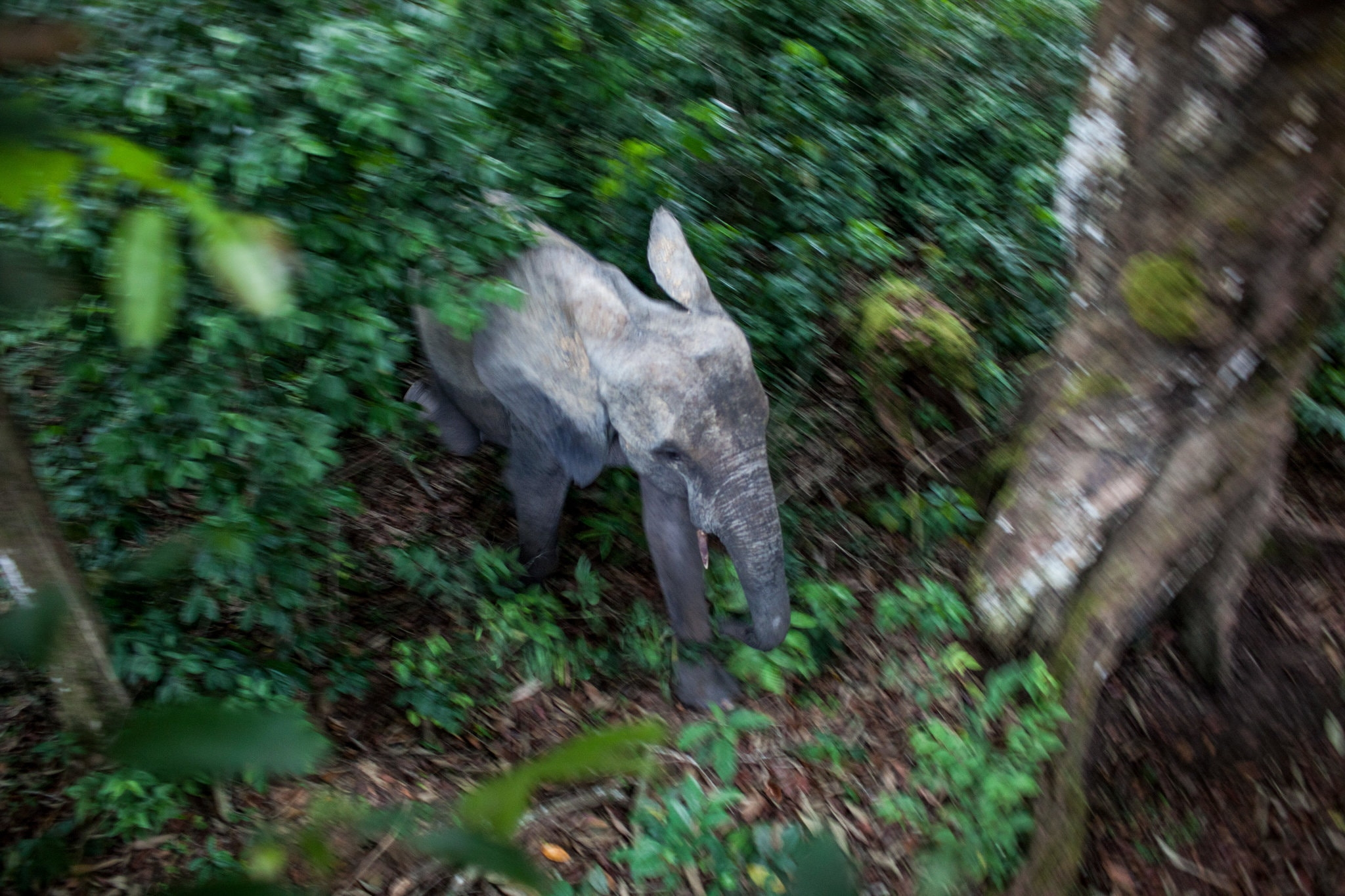 Picture of elephant in Congolese forest
