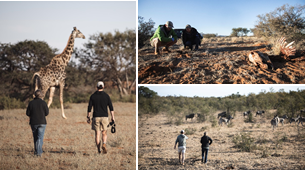 Three images. Left image shows two people walking toward a giraffe. Right top image shows two people kneeling and looking at something on the ground. Right bottom image shows two people walking toward animals