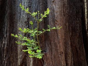 Sprouting foliage on redwood tree trunk